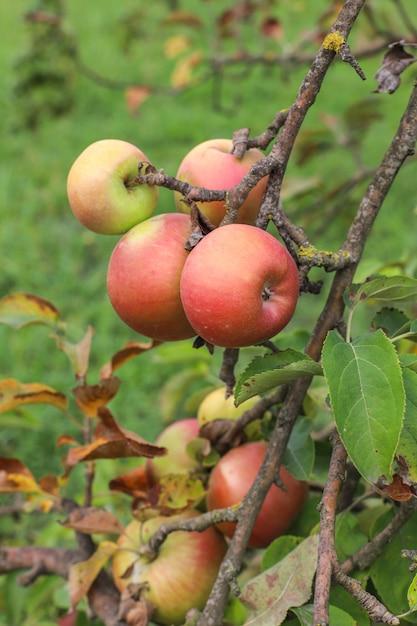 庭の木の枝にぶら下がっている秋の果物。 無料写真