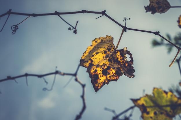 Autumn grape vine leaf Premium Photo