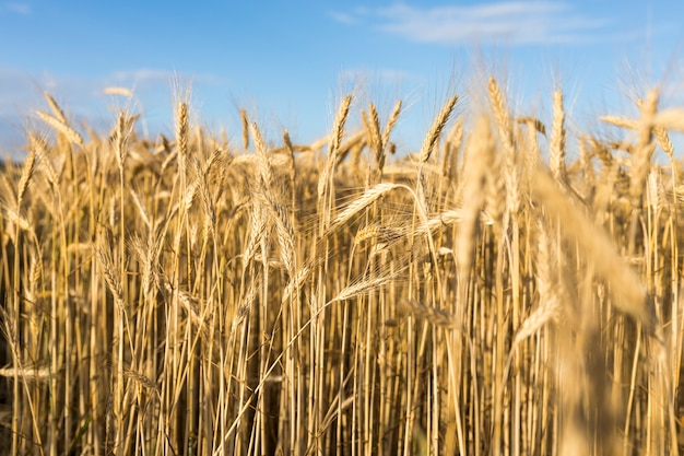 Autumn landscape with golden grains Free Photo
