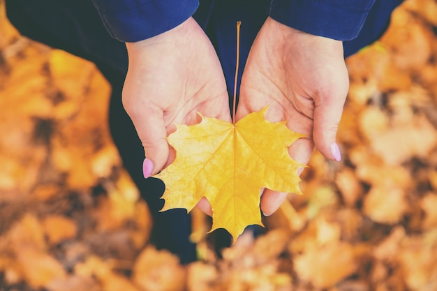 Autumn leaf in the hands of a girl. selective focus. Premium Photo
