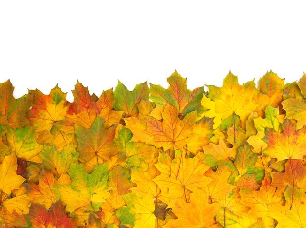 白で隔離される秋のカエデの葉 Premium写真