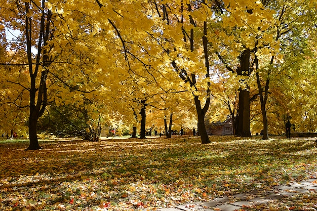 Autumn park with colorful yellow foliage on the trees and fallen leaves on the ground Premium Photo