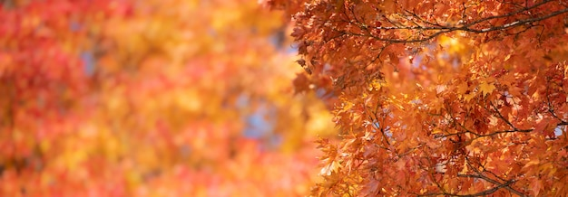 Autumn red maple leaves with copyspace background. Premium Photo
