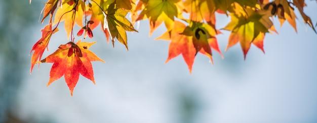 Кленовые листы осени красные с предпосылкой copyspace. Premium Фотографии