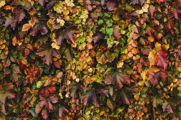 Autumn virginia creeper leaves background Premium Photo