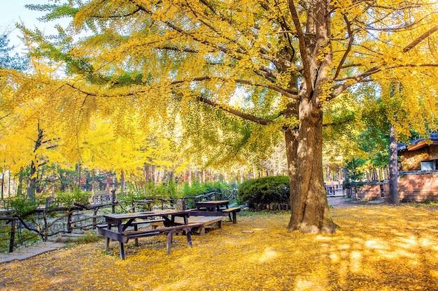 남이섬, 한국의 은행 나무가있는 가을. 무료 사진
