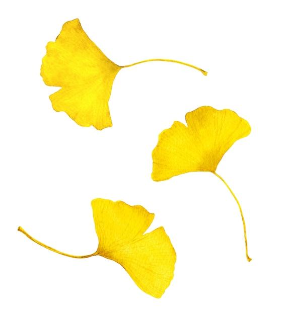 秋の黄色いイチョウの葉。 Premium写真