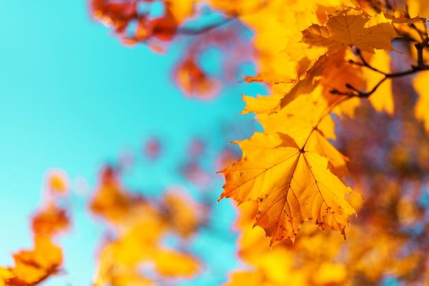 Autumn yellow leaves on blue sky background. golden autumn concept. Premium Photo