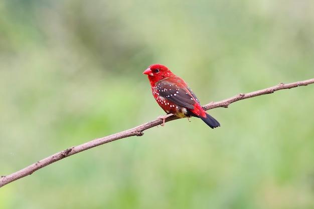 赤いavadavat amandava amandavaタイの美しい男性の鳥 Premium写真