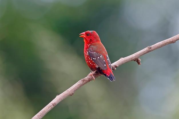 赤のavadavat amandava amandavaタイの男性の鳥 Premium写真