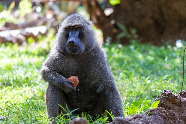 A baboon has found a fruit and eats it Premium Photo