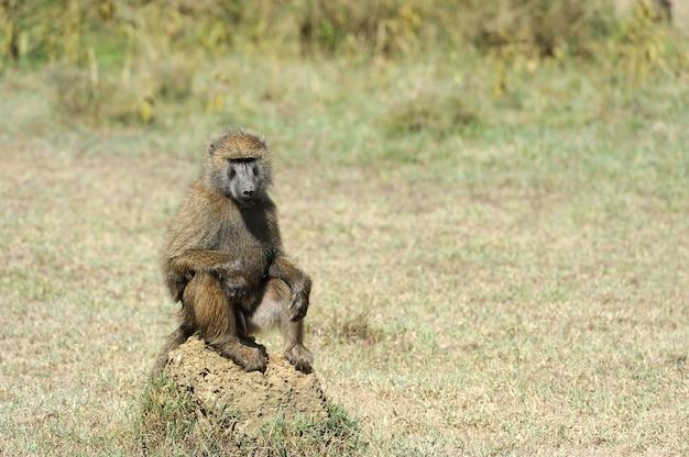 Бабуин в национальном парке кении, африка Бесплатные Фотографии