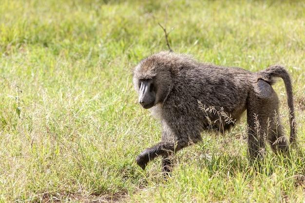 ヒヒ猿 無料写真