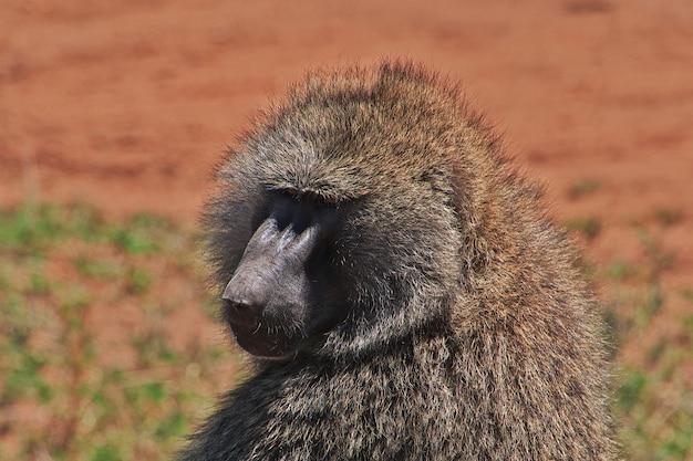 Baboon on safari in kenia and tanzania, africa Premium Photo