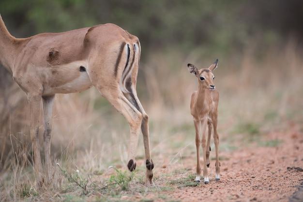 Маленькая антилопа гуляет вместе с матерью антилопой Бесплатные Фотографии