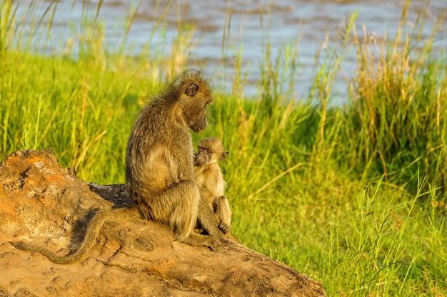 オリファンツ川の赤ちゃんヒヒと母親 無料写真