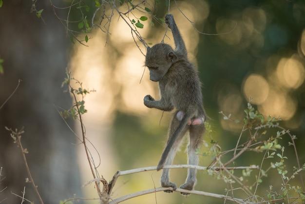 枝にぶら下がっている赤ちゃんヒヒ 無料写真