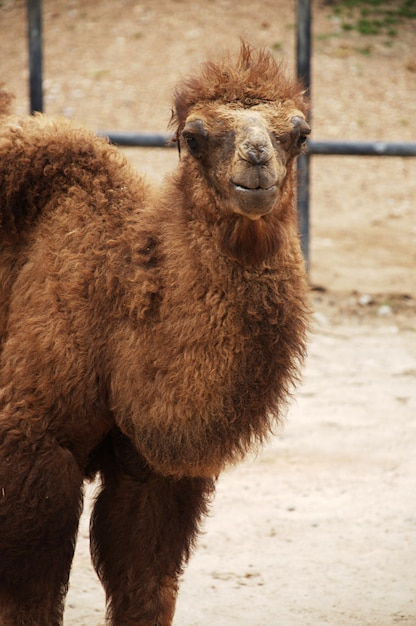 Baby Bactrian Camels