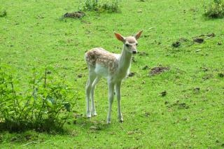 baby deer  woods Free Photo