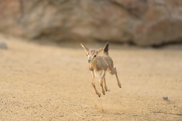 Baby deer hopping around Free Photo