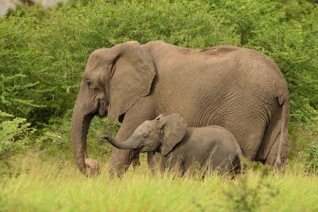 Слоненок играет со своей матерью посреди травянистых полей в африканских джунглях Бесплатные Фотографии