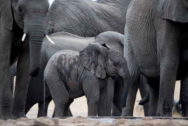 A baby elephant walking in herd Free Photo