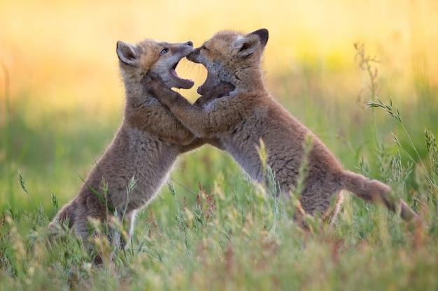 Детеныши лисиц с бежевой шерстью дерутся между собой среди трав Бесплатные Фотографии