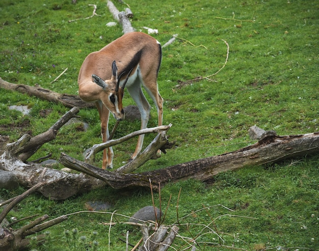 Baby gazelle in the nature Free Photo