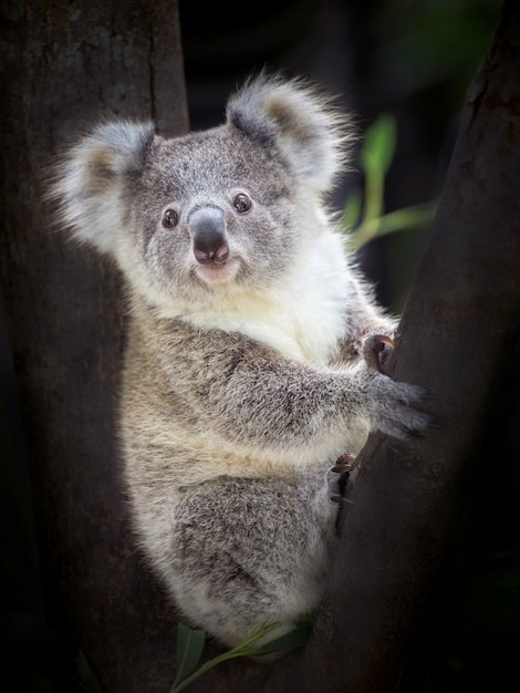 Baby koala bear sitting on a tree. Premium Photo
