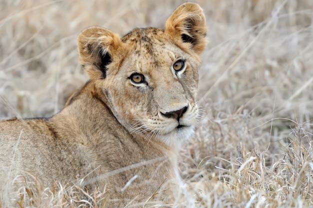 Cucciolo di leone nella savana Foto Gratuite