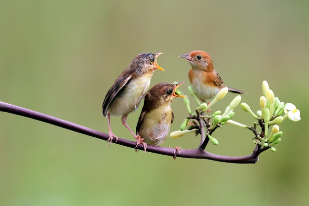 Baby zitting cisticola bird waiting for food from its mother Premium Photo