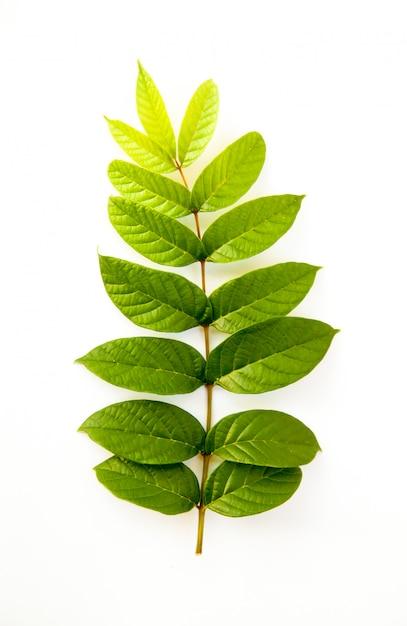 Back leaf on white Premium Photo
