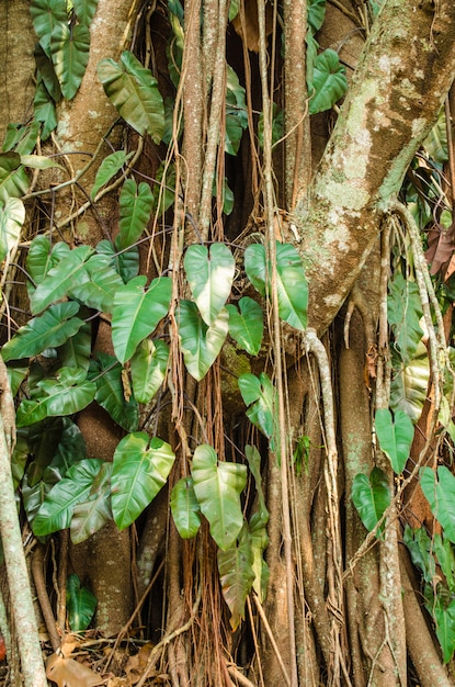 Background of bodhi tree Premium Photo