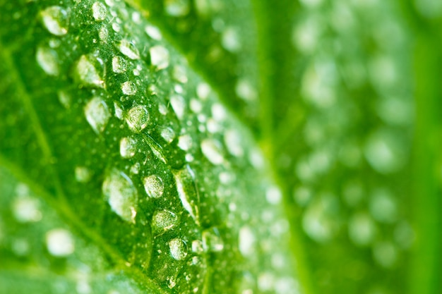 Background of drops of dew on green cucumber leaf Premium Photo