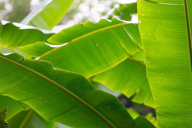 Background of green banana leaves, forest. Free Photo