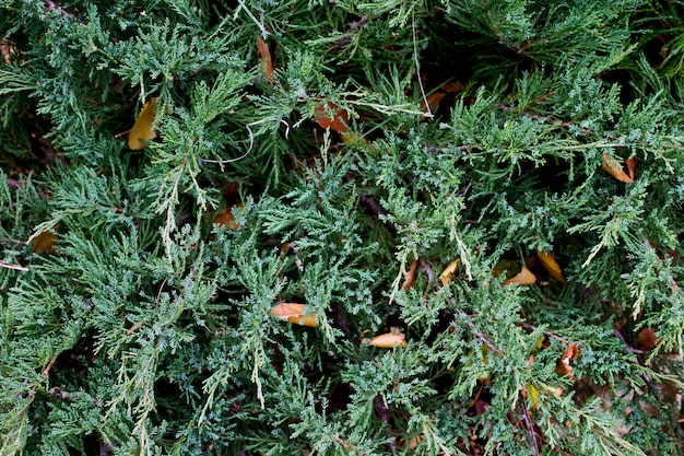 Background green juniper Premium Photo