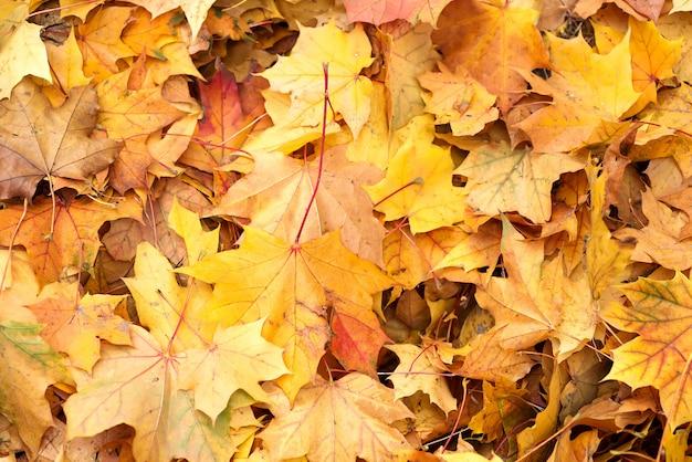 Background group autumn orange leaves. outdoor. Premium Photo