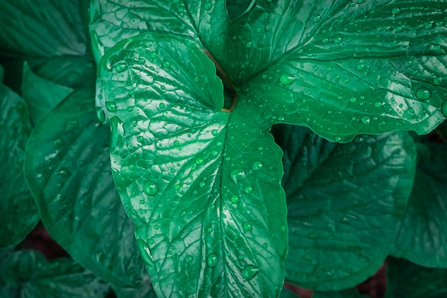 Background of leaves with water drops in the rainy season Premium Photo
