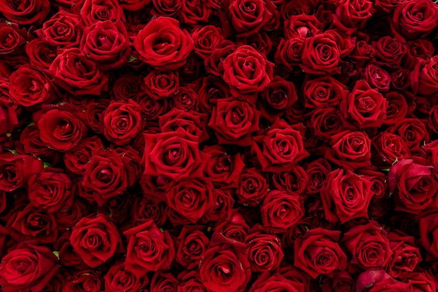Background Texture Of Red Blossom Roses. Red Rose Is