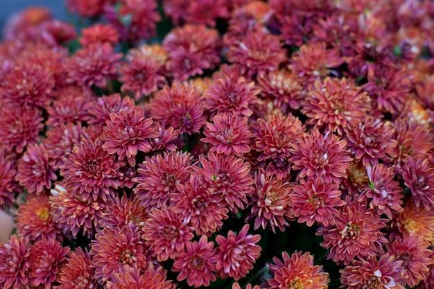 咲く菊の背景。庭の秋の花。 Premium写真