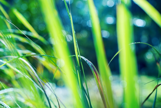 Background with dew falls on green grass in early Premium Photo