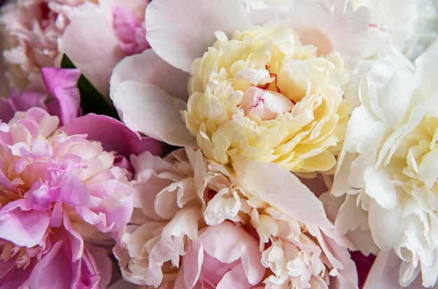 Background with pink peonies as a nstural background Premium Photo