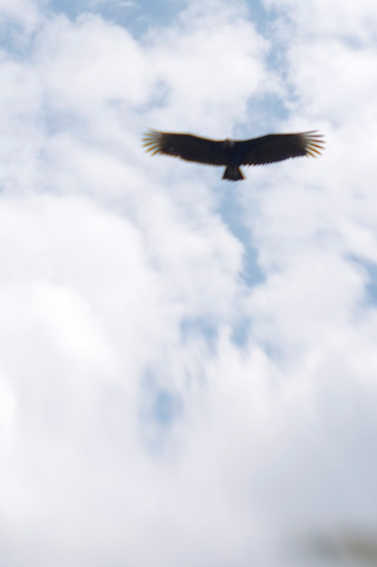 Bald eagle soaring Premium Photo