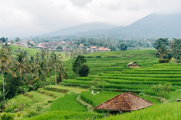 Balinese woman work on rice fields of bali island, indonesia. Premium Photo