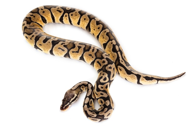 Ball python Premium Photo