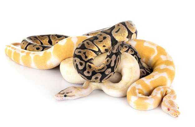 Ball pythons in studio Premium Photo