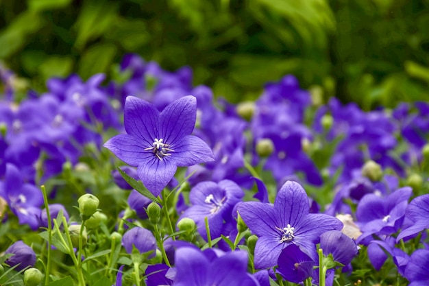 Balloon flowers are blooming with natural backgrounds. Premium Photo