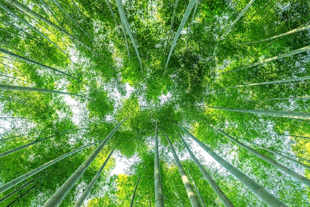 Bamboo forest. nature background. Free Photo