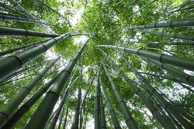Bamboo forest. Premium Photo