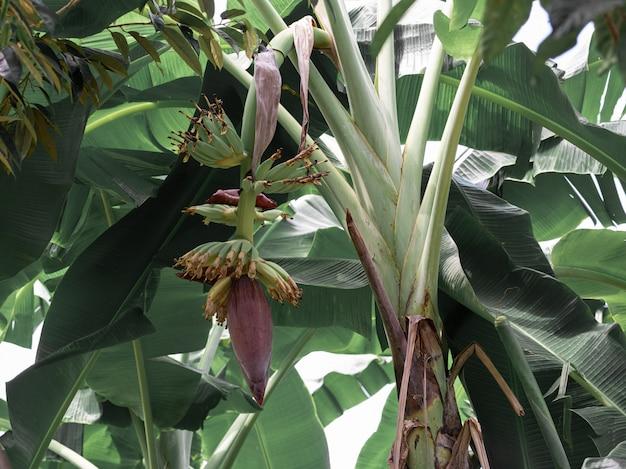 Banana blossom hang from banana tree in garden, high protein nutrition for vegan Premium Photo